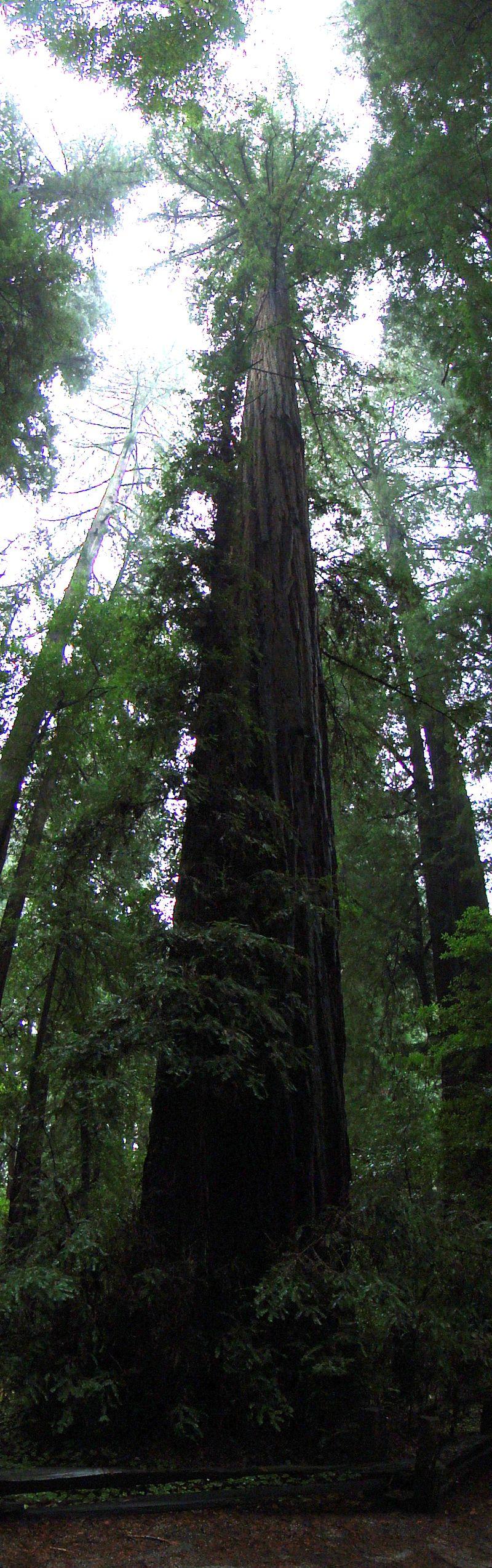 Look Redwoods