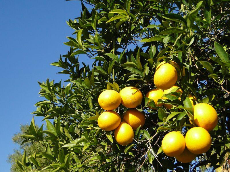 Phoenix Citrus