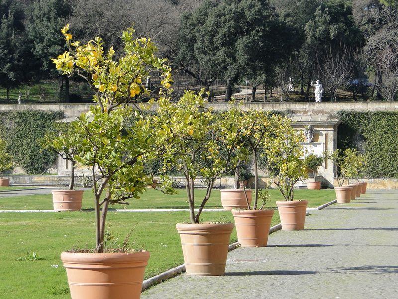 Vatican Lemons